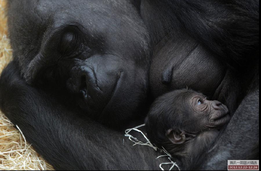 周一,布拉格一个动物园内,西部低地大猩猩kijivu搂着她刚出生两天的